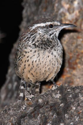 Cactus Wren Photo @ Kiwifoto.com