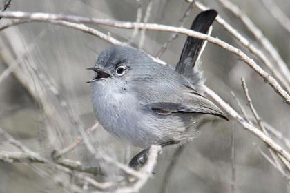 California Gnatcatcher Image @ Kiwifoto.com