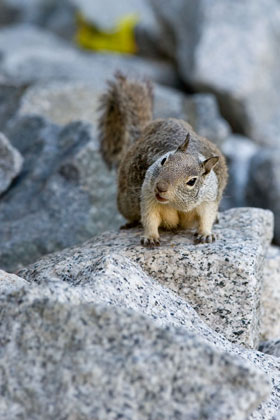 California Ground Squirrel Image @ Kiwifoto.com