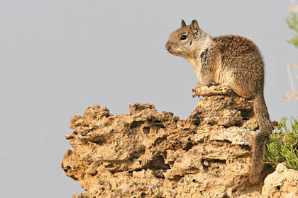 California Ground Squirrel Picture @ Kiwifoto.com