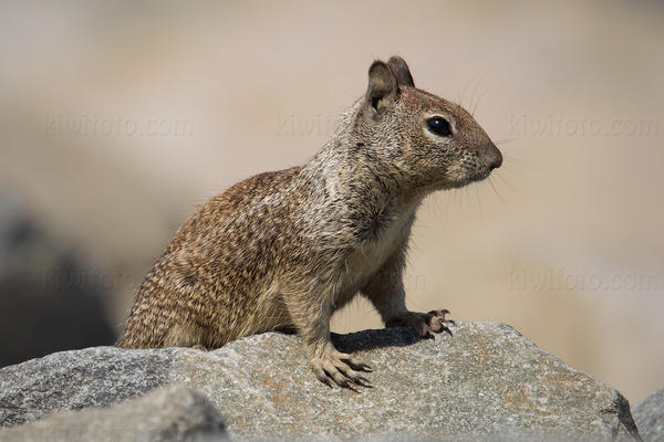 California Ground Squirrel Photo @ Kiwifoto.com