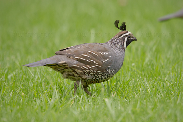 California Quail Photo @ Kiwifoto.com