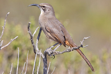 California Thrasher Picture @ Kiwifoto.com