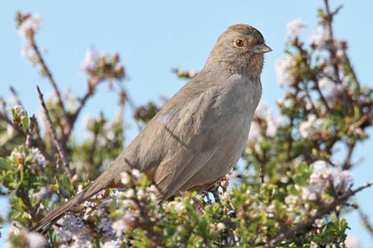 California Towhee Photo @ Kiwifoto.com