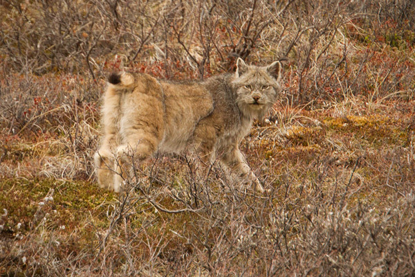 Canadian Lynx Photo @ Kiwifoto.com