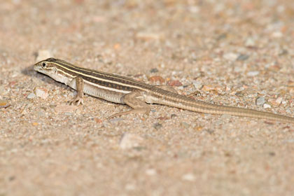 Canyon Spotted Whiptail (juvenile)