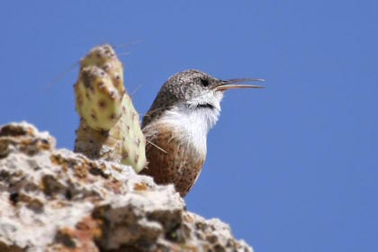 Canyon Wren Photo @ Kiwifoto.com