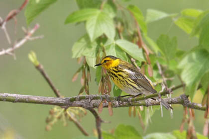 Cape May Warbler Picture @ Kiwifoto.com