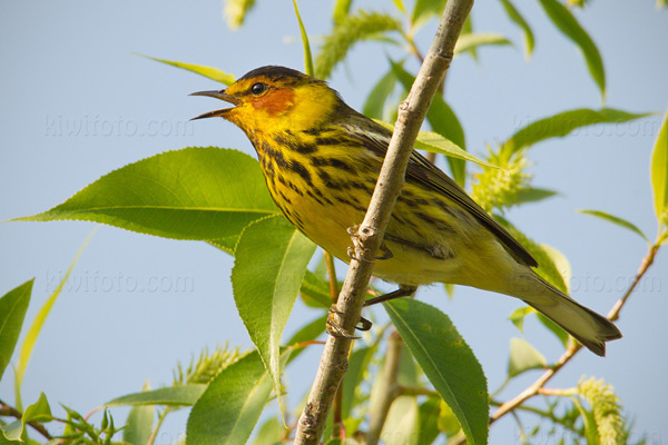 Cape May Warbler Photo @ Kiwifoto.com