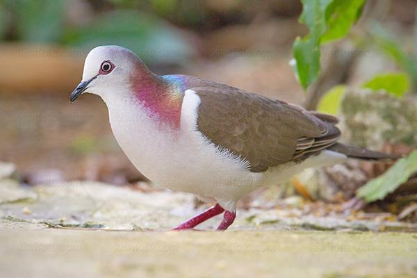 Caribbean Dove L.j. jamaicensis @ Rocklands Bird Sanctuary, Montego Bay, Jamaica