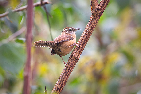 Carolina Wren Photo @ Kiwifoto.com