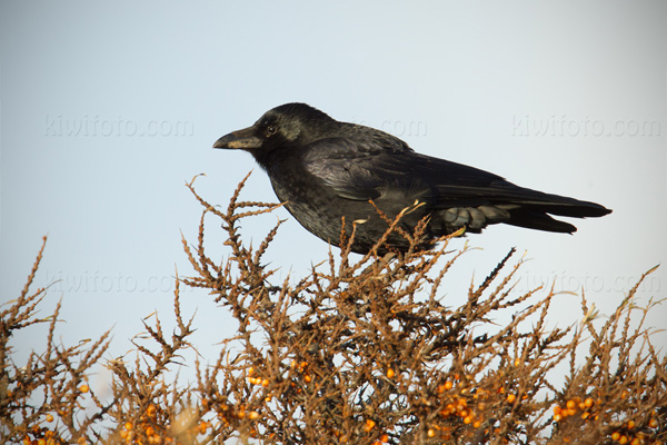 Carrion Crow Image @ Kiwifoto.com