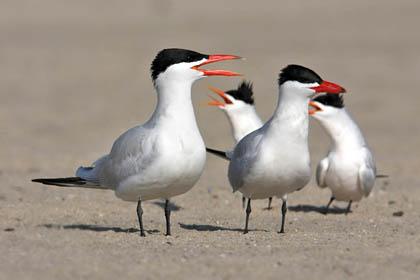 Caspian and Elegant Terns