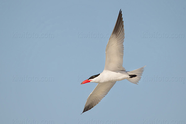 Caspian Tern @ Playa del Rey (Dockweiler State Beach), CA