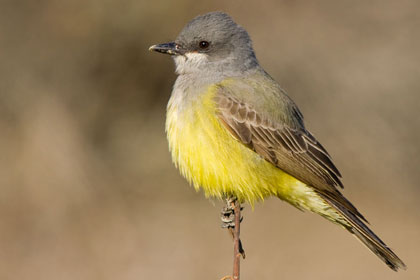 Cassin's Kingbird Photo @ Kiwifoto.com