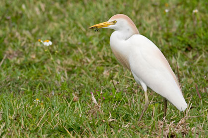 Cattle Egret Picture @ Kiwifoto.com