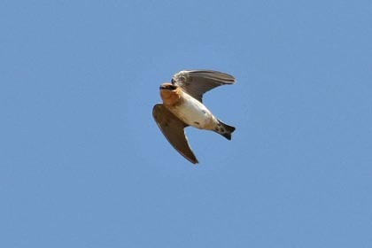Cave Swallow Photo @ Kiwifoto.com