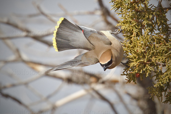 Cedar Waxwing Photo @ Kiwifoto.com