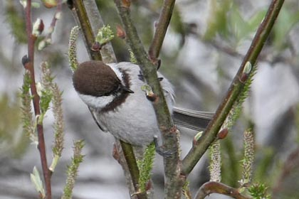 Chestnut-backed Chickadee Photo @ Kiwifoto.com