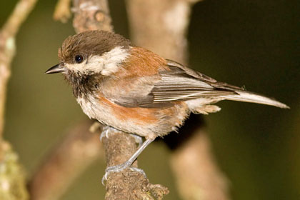 Chestnut-backed Chickadee Image @ Kiwifoto.com