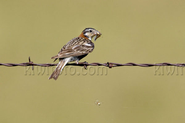 Chestnut-collared Longspur Picture @ Kiwifoto.com