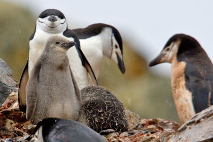 Chinstrap Penguin Photo @ Kiwifoto.com