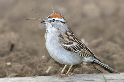 Chipping Sparrow Image @ Kiwifoto.com