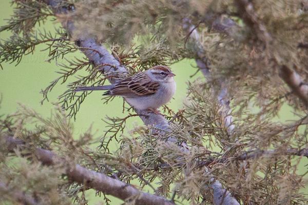 Chipping Sparrow @ Municipal Golf Course, Santa Barbara, CA