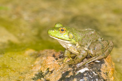 American Bullfrog Photo