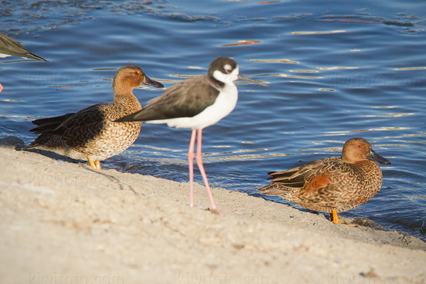 Cinnamon Teal Photo @ Kiwifoto.com
