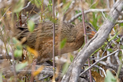 Clapper Rail (Light-footed Clapper Rail [R.l. levipes])