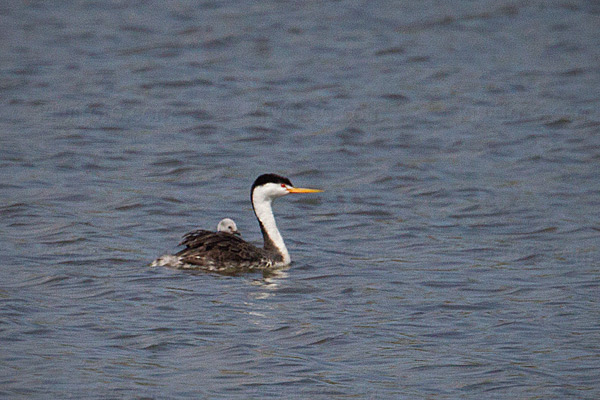 Clark's Grebe (with chick)