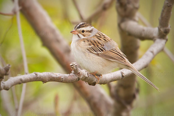 Clay-colored Sparrow Image @ Kiwifoto.com
