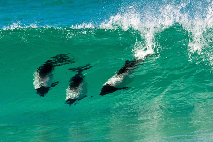 Commerson's  Dolphin Photo @ Kiwifoto.com