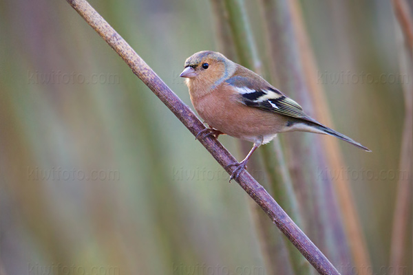 Common Chaffinch Picture @ Kiwifoto.com