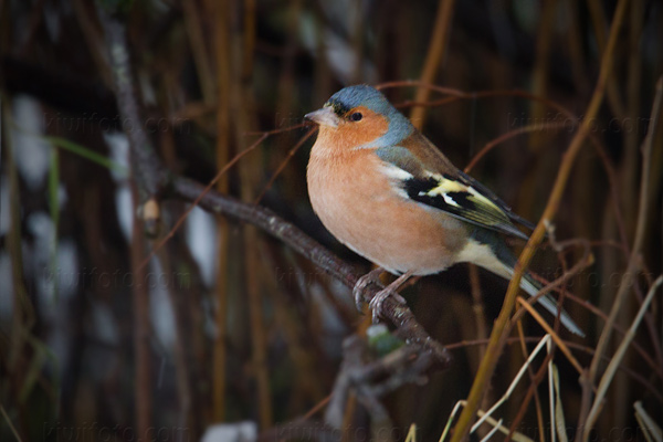 Common Chaffinch Image @ Kiwifoto.com