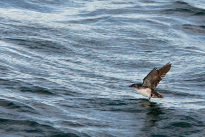 Common Diving-petrel (P. u. exsul)