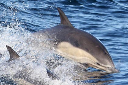 Common Dolphin Photo