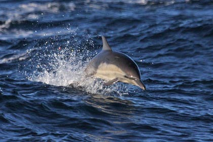 Common Dolphin Picture