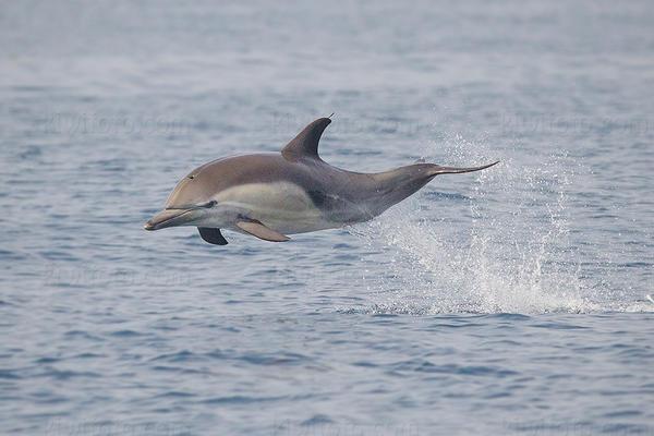 Common Dolphin @ Orange County (pelagic waters), CA