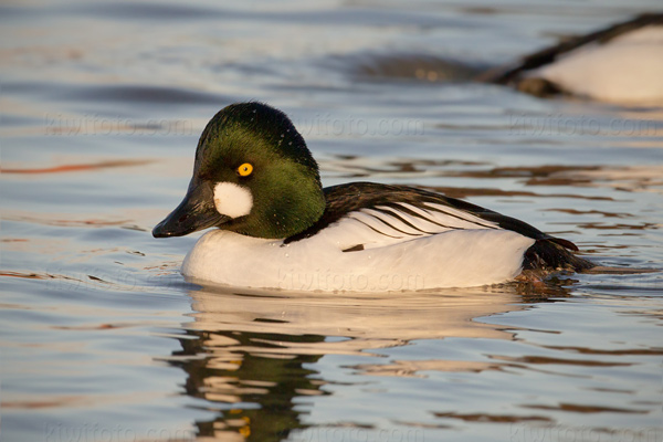 Common Goldeneye Photo @ Kiwifoto.com