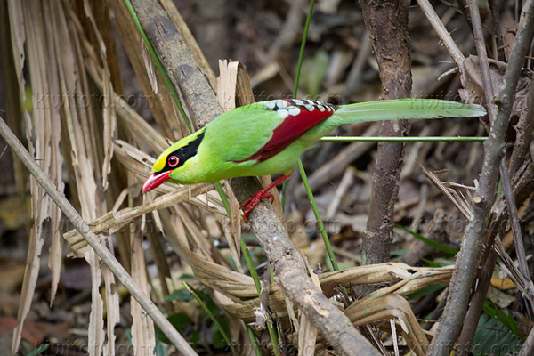 Common Green Magpie Picture @ Kiwifoto.com