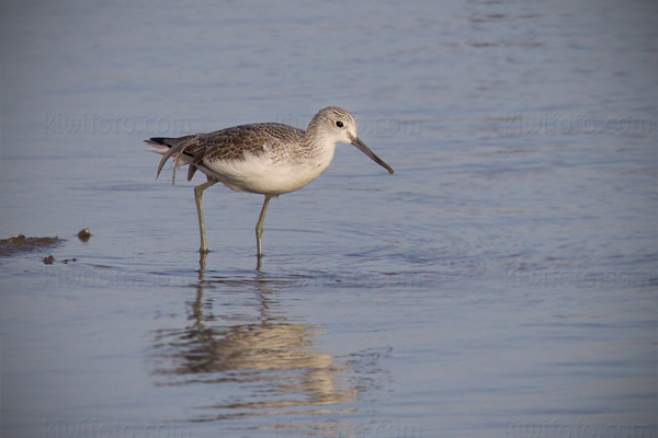 Common Greenshank Photo @ Kiwifoto.com