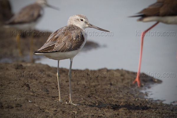 Common Greenshank Image @ Kiwifoto.com