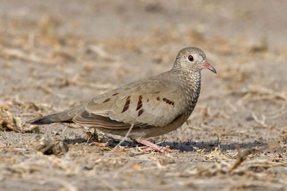 Common Ground-dove Picture