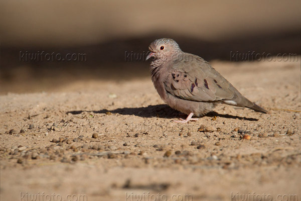 Common Ground-dove Picture @ Kiwifoto.com