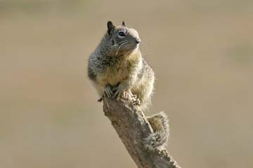 Common Ground Squirrel