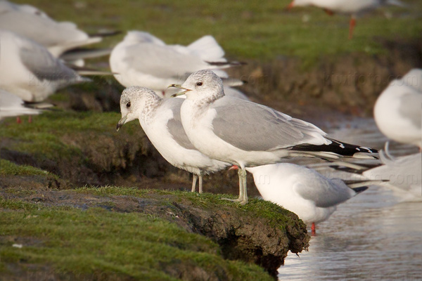 Common Gull Photo @ Kiwifoto.com