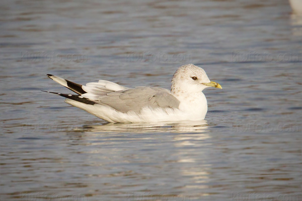 Common Gull Picture