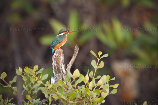 Common Kingfisher Picture @ Kiwifoto.com